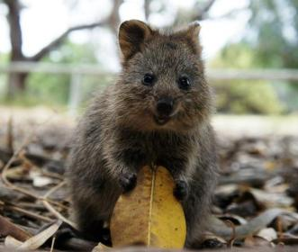 quokka-is-so-happy-about-life