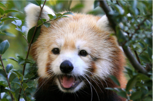 red-panda-is-so-happy-omg